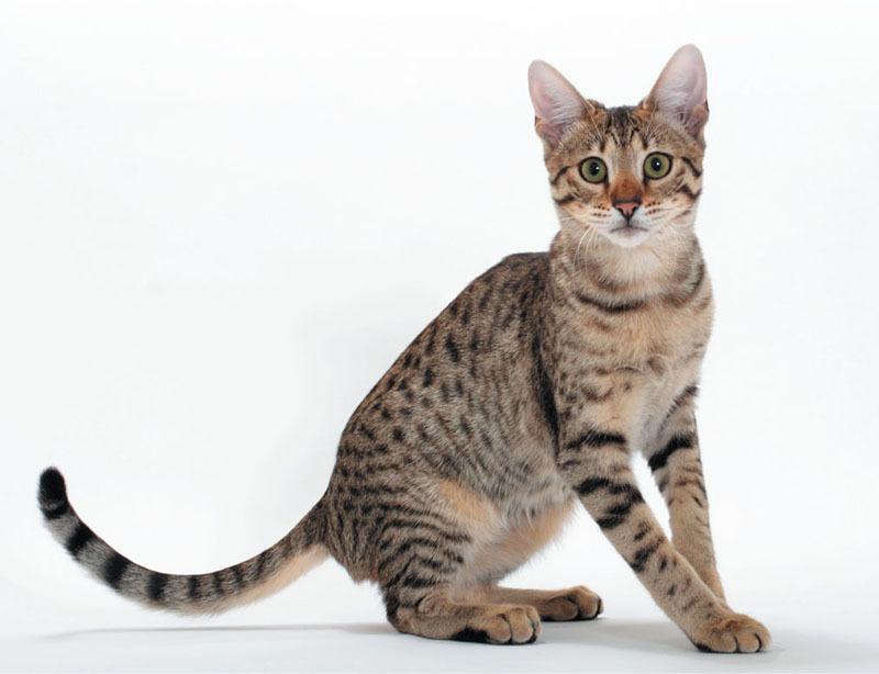 e05169f01a Catster Magazine - July August 2018 - Wild Child — Meet the Savannah