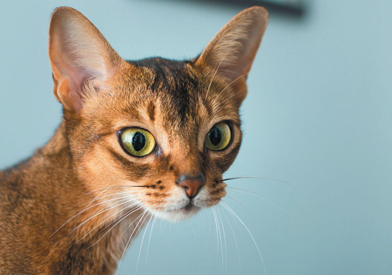 Abyssinian Cat Mix