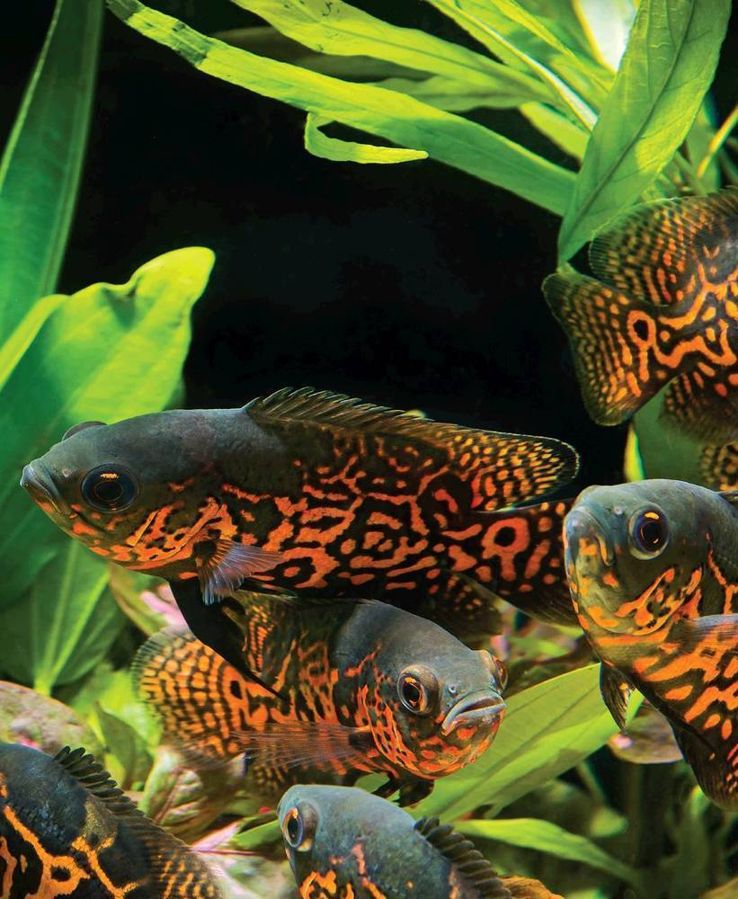 Tropical Fish Hobbyist Jul Aug 2016 Aquascaping For Large And Aggressive Fish