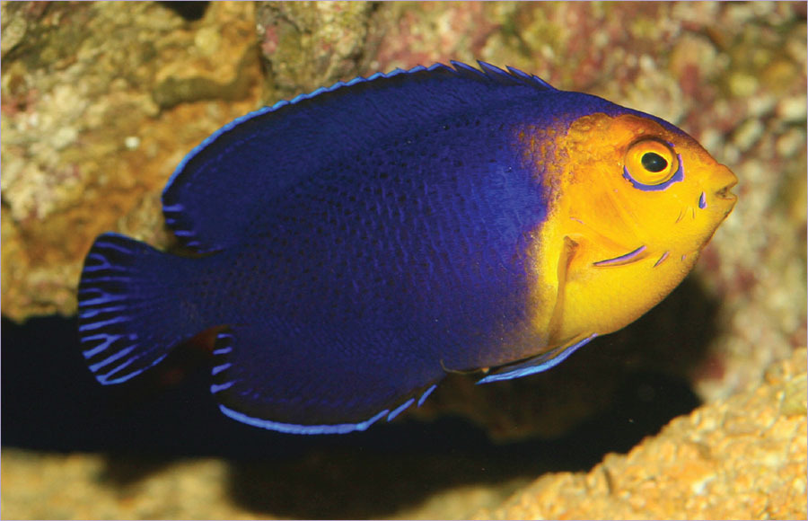 Tropical Fish Hobbyist - Mar/Apr 2019 - Reef and Coral Corner