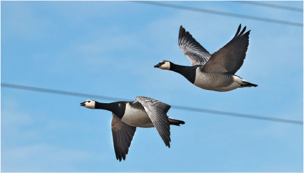 wild geese and power lines