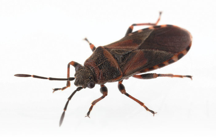 elm seed bug adult