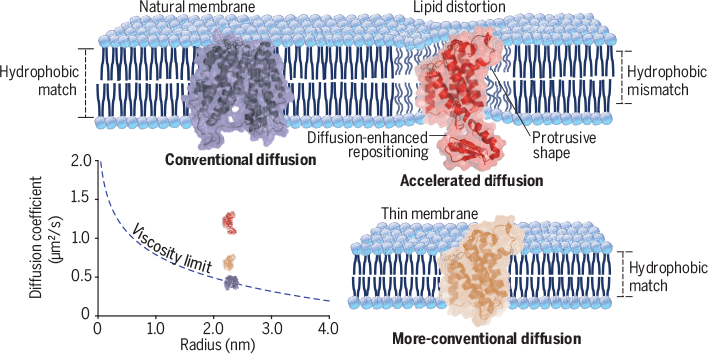 d3d83979 Science Magazine - February 1, 2019 - Rhomboid distorts lipids to ...