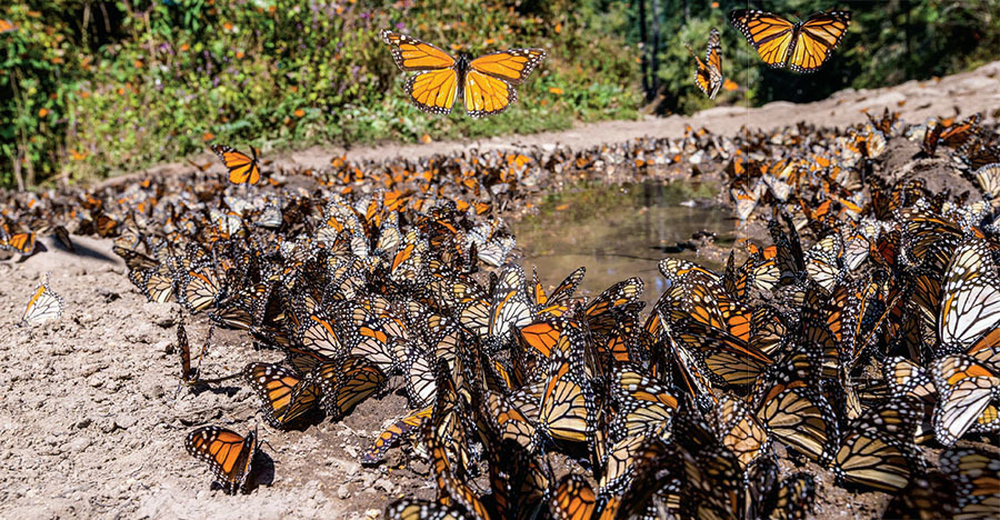 mexicos monarch population booms