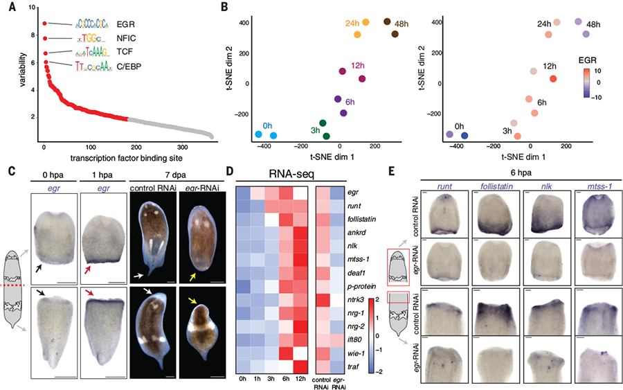 Science Magazine - March 15, 2019 - Acoel genome reveals the
